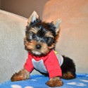 Akc Tiny toy Tea Cup yorkie puppies