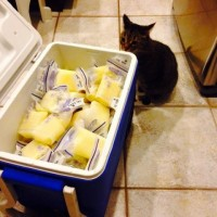 """High Fat Content """"Buttermilk"""" From Milk Bank Donor in ORLANDO FL Dairy Free Milk Available"""